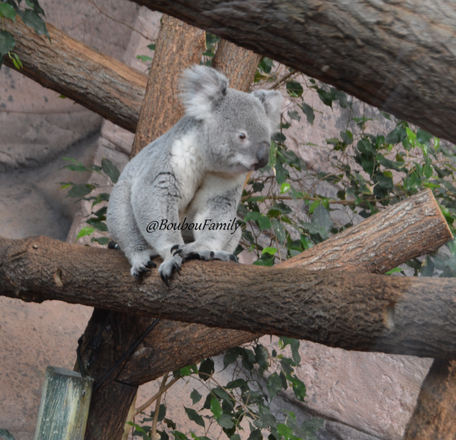 koala zoo beauval