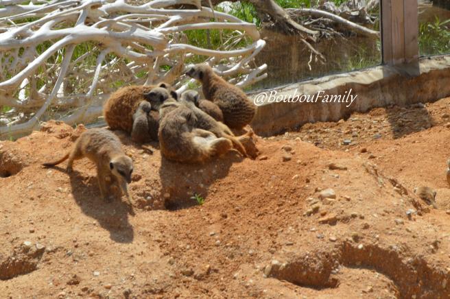 zoo suricate