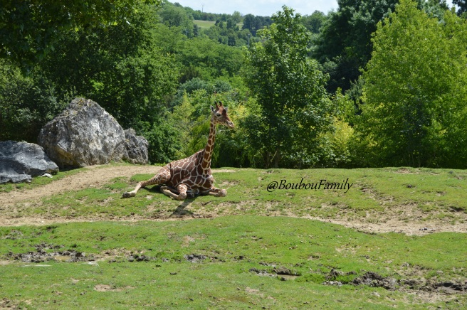 girafe zoo beauval