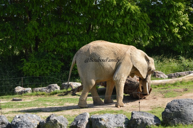 zoo beauval elephant