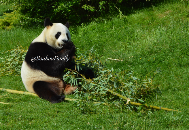 zoo beauval panda